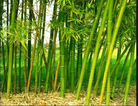 Việt Nam có bao nhiêu loại tre trúc 1