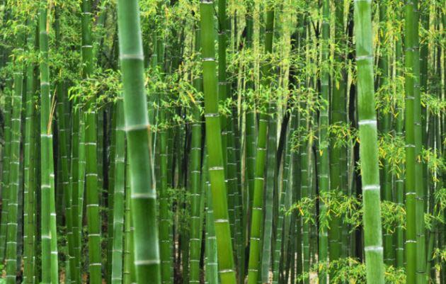 Đặc điểm của cây tre trúc nguyên liệu