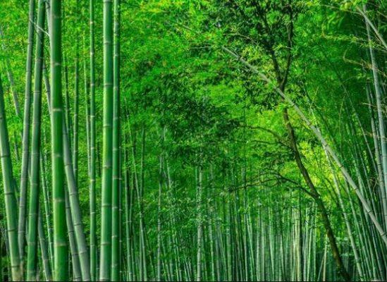 Cây Tre được trồng phổ biến ở Việt Nam