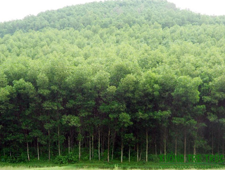 Cây Keo - Đặc điểm và công dụng của cây keo 6